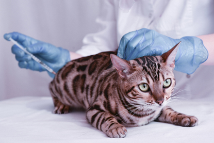Cat getting a vaccine